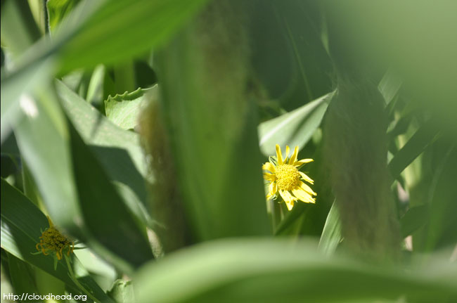 A corn flower grows on a healthy plant